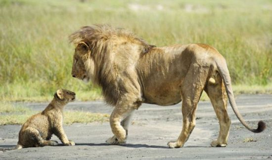 lioness protects her cub